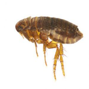Pest Control Melbourne Fleas