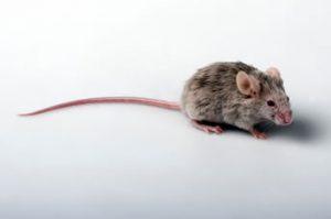 Mouse Exterminators Melbourne