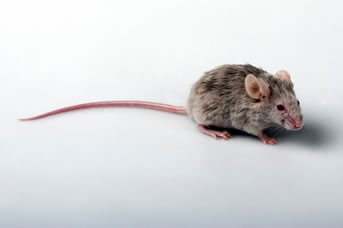 Mouse Exterminators Melbourne