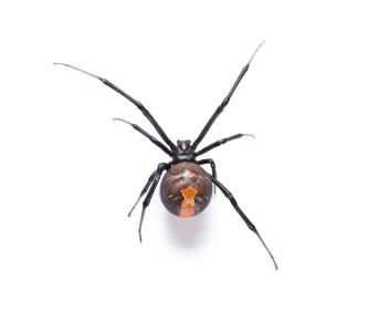 Redback Spider Removal Melbourne